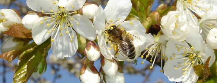 Honigbiene auf Kirschblüte